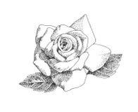 Rosa a penna ed inchiostro Fotografia Stock Libera da Diritti