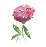 Rosa peonblomma Arkivfoto