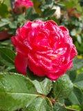 Rosa per amore Immagini Stock