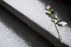 Rosa per la memoria sul funerale Immagine Stock