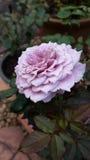 Rosa perfumada Fotografia de Stock Royalty Free