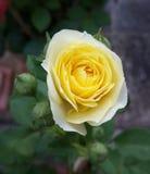 Rosa perfumada do amarelo Foto de Stock Royalty Free