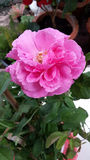 Rosa perfumada do rosa Fotografia de Stock Royalty Free