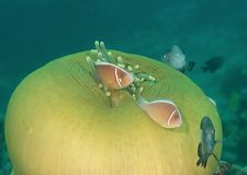 Rosa perideraion för skunkclownfishAmphiprion och damselfishdans i tentakel för havsanemon, Bali royaltyfria bilder