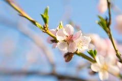 Rosa persika för blomning och en blå himmel för vår Arkivfoto