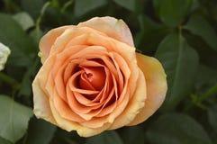 Rosa persikablomma royaltyfri fotografi