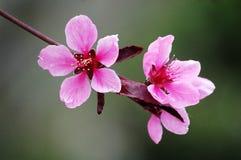 Rosa persikablommor royaltyfria bilder