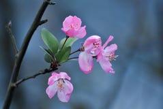 Rosa persikablomning arkivbilder