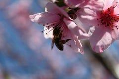 Rosa persikablomning med ett bi Fotografering för Bildbyråer