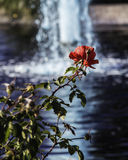Rosa perto do lago Imagem de Stock Royalty Free