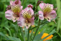 Rosa peruan Lily Trio Royaltyfria Bilder