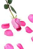 Rosa, petalo del è aumentato Immagine Stock Libera da Diritti