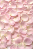 Rosa petals Royaltyfria Bilder
