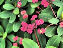 Rosa petals Arkivfoton