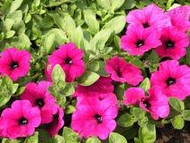 Rosa petunia arkivbilder
