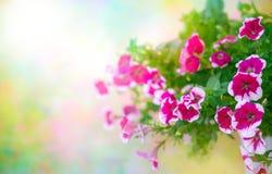 Rosa petunia i blomkruka Arkivfoto