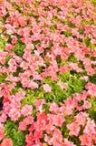 rosa petuniablomma i trädgård royaltyfri bild
