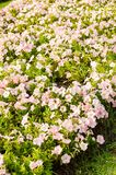 rosa petuniablomma i trädgård royaltyfria foton