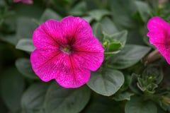 Rosa petuniablommav?xter i tr?dg?rden arkivbilder