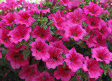Rosa petuniablommor Royaltyfria Bilder