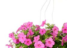 rosa petuniablommor stänger sig upp på växande hängande petunior för vit bakgrund kopierar utrymme arkivfoto