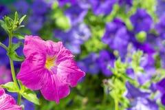 rosa petunianärbild, mot en bakgrund av blåa petunior arkivbild