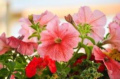 Rosa petunias Royaltyfri Fotografi