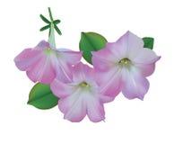Rosa petunias Fotografering för Bildbyråer