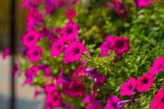 Rosa Petunie stockfoto