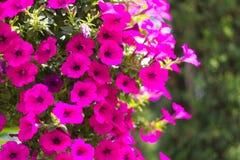 Rosa Petunienblume lizenzfreies stockbild