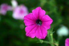 Rosa Petunienblume Stockfoto