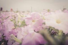 Rosa Petunienblumen im Garten Stockbild