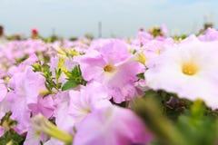 Rosa Petunienblumen im Garten Lizenzfreie Stockfotos