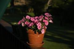 Rosa Petunienblumen im Topf Lizenzfreie Stockfotos