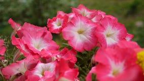 Rosa petunior som svänger i brisen stock video