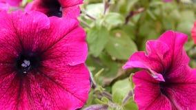 Rosa petunior som svänger i brisen lager videofilmer