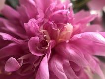 Rosa Pfingstrose Stockbild