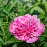 Rosa Pfingstrose, die im Garten blüht Stockfotos