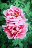 Rosa Pfingstrose, europäische Pfingstrose oder allgemeine Pfingstrose Paeonia officinalis stockfotos