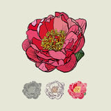 rosa Pfingstrose, Illustration Stockfotografie