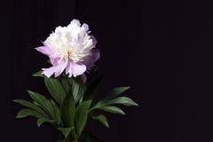 Rosa Pfingstrose mit Blättern in einem schwarzen Hintergrund Stockfotografie