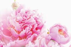 Rosa Pfingstrosen Stockbild