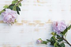 Rosa Pfingstrosen auf weißem rustikalem hölzernem Hintergrund stockfoto