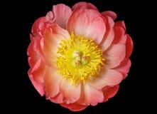 Rosa Pfingstrosenabschluß oben lokalisiert auf schwarzem Hintergrund, Draufsicht Schöne empfindliche Pfingstrose mit den rosa Blu stockbild
