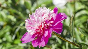 Rosa Pfingstrosenblume im Garten Lizenzfreie Stockfotos