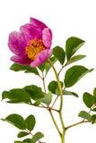Rosa Pfingstrosenblume, lokalisiert auf weißem Hintergrund Stockfotos