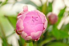 Rosa Pfingstrosenblume mit der Knospe, bokeh Unschärfehintergrund, Klasse Paeonia Lizenzfreie Stockbilder