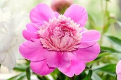 Rosa Pfingstrosenblume mit der Knospe, bokeh Unschärfehintergrund, Klasse Paeonia Stockfoto