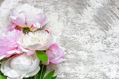 Rosa Pfingstrosenblumen auf weißem hölzernem Hintergrund Lizenzfreie Stockfotos
