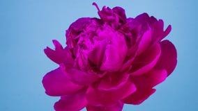 Rosa Pfingstrosenblumenblühen stock video